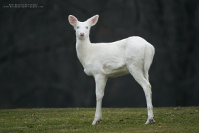 An albino whitetail deer stands alert on a golf fairway with dark woods behind.