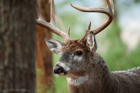large whitetail buck close up.