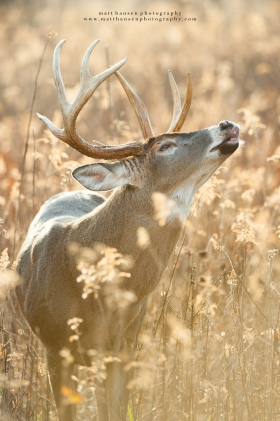 A large whitetail buck lip curls in a glowing backlit field at sunrise