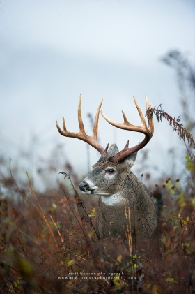 A large 11 point whitetail buck looks to the side in a rainy brush field