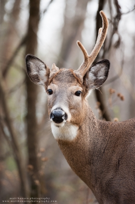 An antlered doe looks at the camera in woods