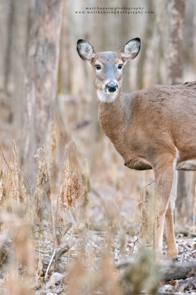 A young doe looks around in woods.