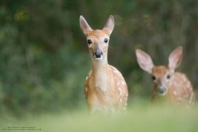 Whitetail fawn twins look curiously at the camera.
