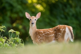 A whitetail fawn stands broadside
