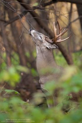 Whitetail buck early season scrape activity.